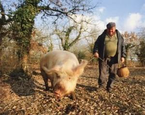 porc-de-trufe
